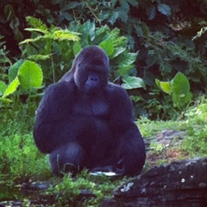 Disney's Animal Kingdom Gorilla