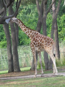 Giraffe on the savanna at Animal Kingdom Lodge