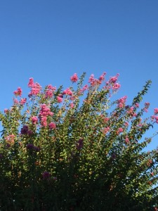 Louisiana Crepe Myrtles