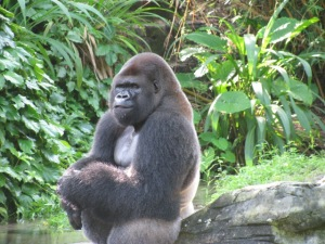 Gorilla at Animal Kingdom WDW