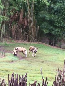 kilimanjaro-safaris-african-painted-dogs